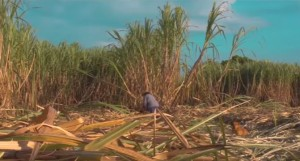 Man working in the sugar-cane field.